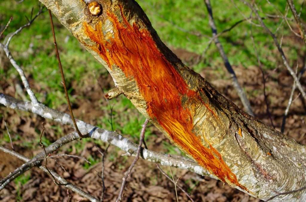 A gray-barked tree trunk where some of the bark has been rubbed off by an elk, exposing the red inner bark.