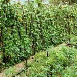 Học sinh khuyết tật trồng rau sạch cung cấp cho resort