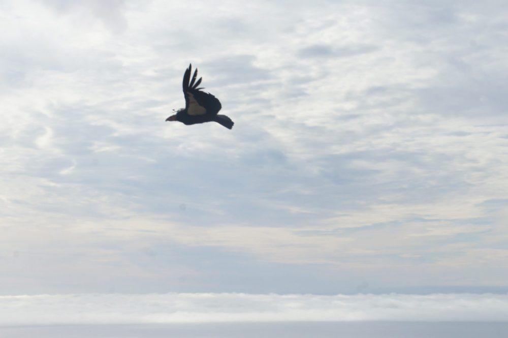 Condor soaring by.