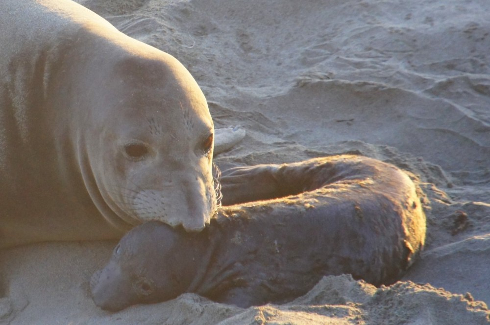 A mother elephant seal nuzzles her baby.