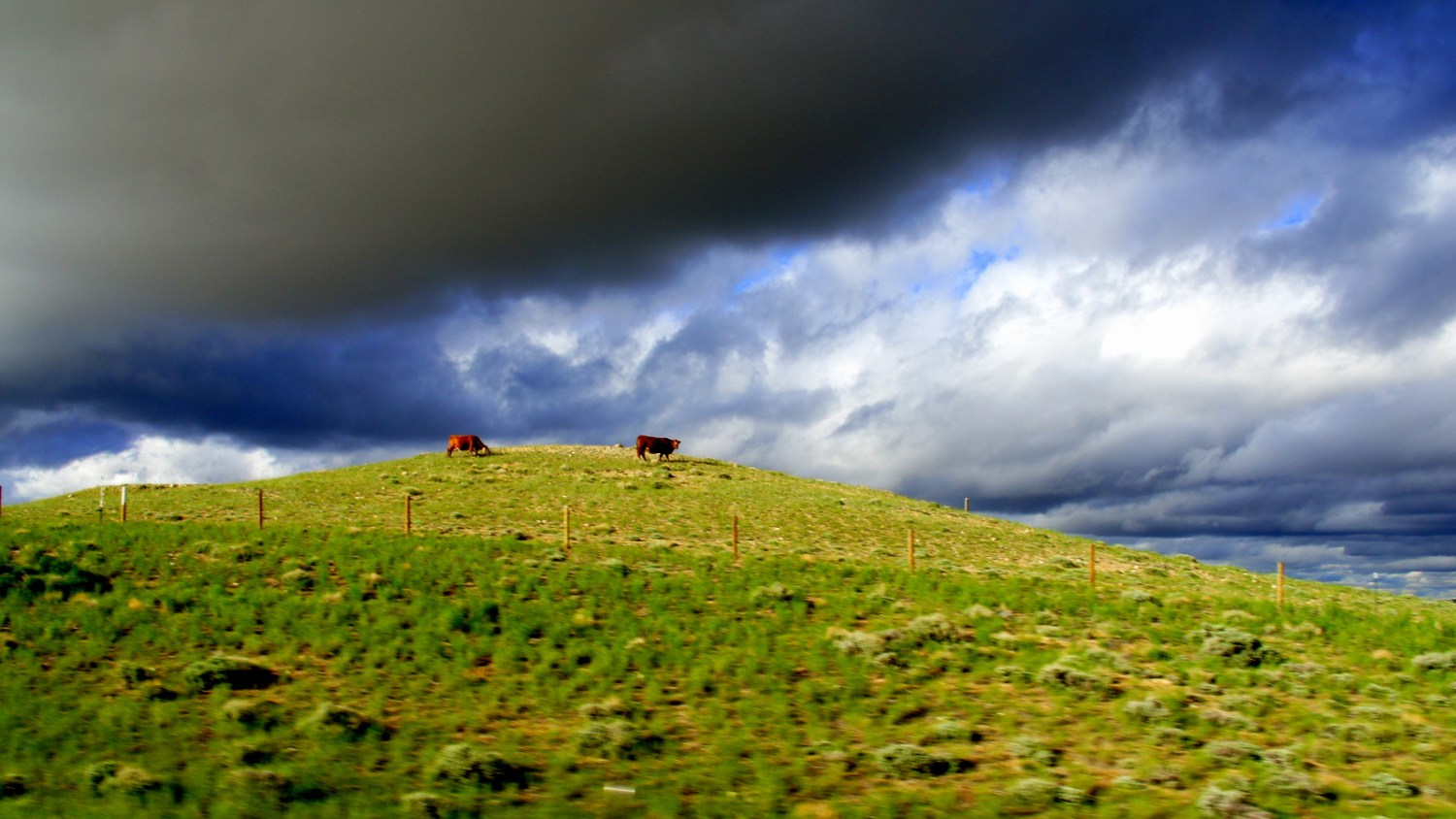 Cows under an incoming storm in the middle of nowhere Wyoming.