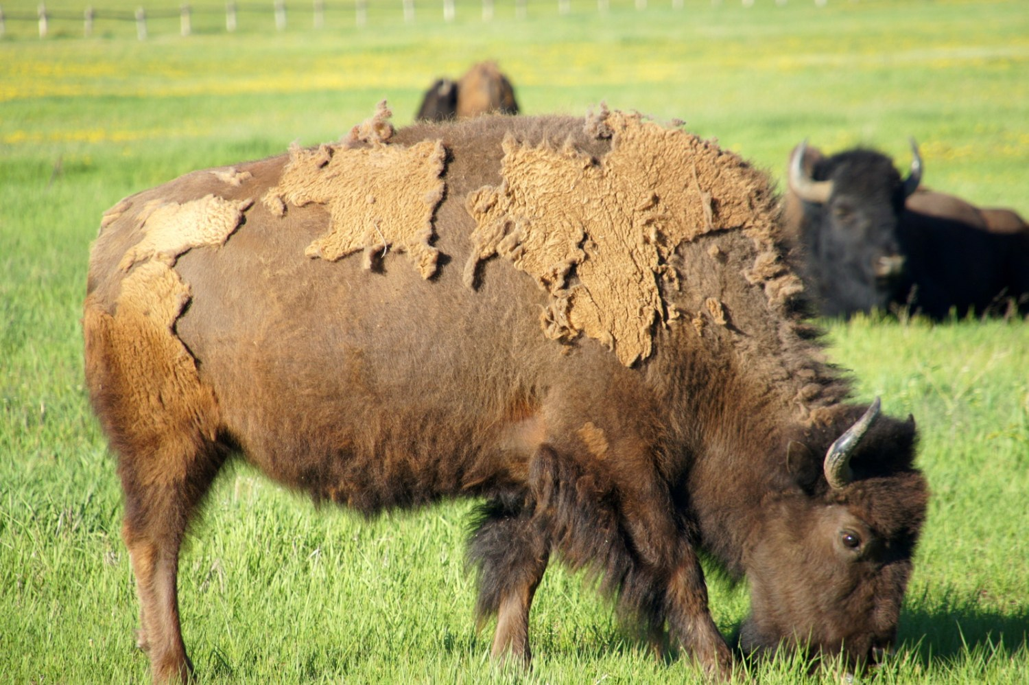A big ol' bison munching away in the fields.