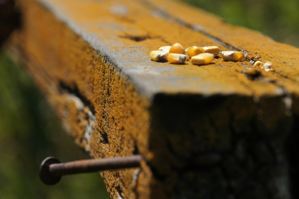 The product of the cornfields rests on an old fence board.