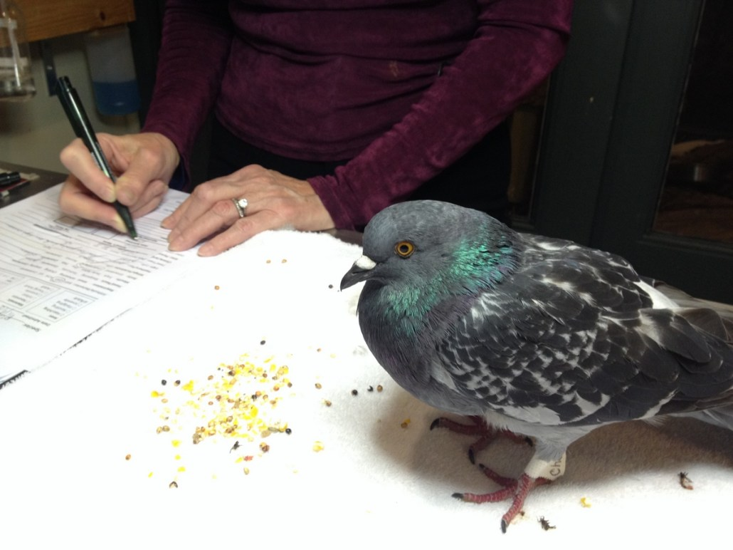 Chelsea's wildlife rehab skills helping out an injured pigeon.