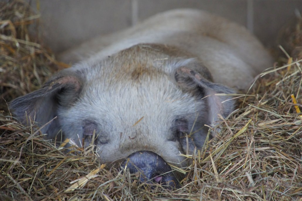 A pig nestled into hay at Farm Sanctuary.