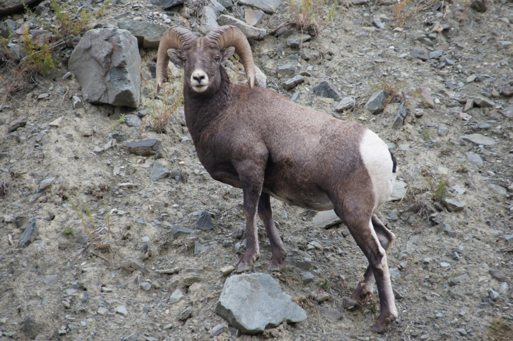 A big horn sheep spotted during a day in SW Montana.