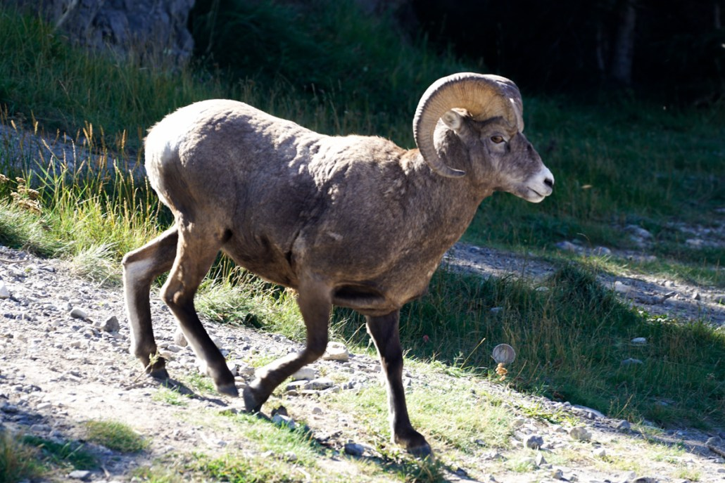 mountain-sheep-jasper
