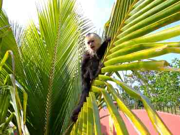 Chimi climbs a palm tree on the beach
