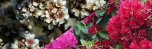 Afbeelding van Fragonia (links) en Rhododendron (rechts)