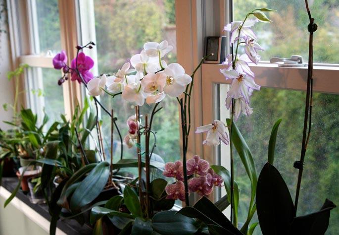 cuidar-de-orquideas-11