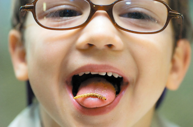 Little boy about four years old with glasses shows off a meal worm bug on his tongue. He's going to eat it. Benefits of eating bugs insects in human diet.