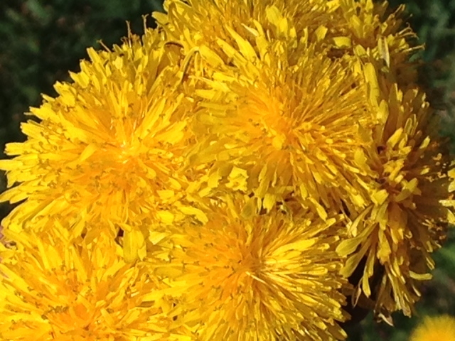 herbal recipes for dandelion, dandelion herbal recipes, flowering dandelions in a group, cluster of dandelion flowers, banner, bright yellow flowers, how to make homemade herbal face wash and drinks from edible dandelion, cluster of dandelion blooms