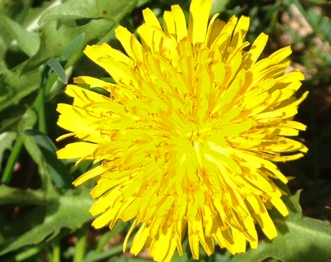 single dandelion flower, see serrated dandelion petals, bright yellow flower alone, single dandelion bloom