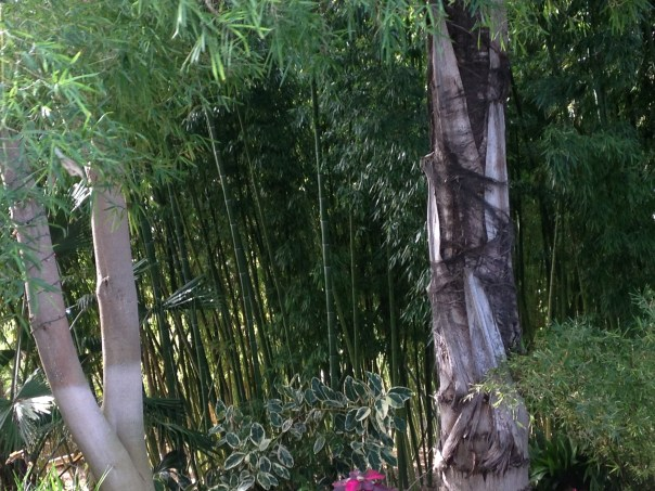 garden information, bamboo, photo sample, San Diego Botanic Gardens