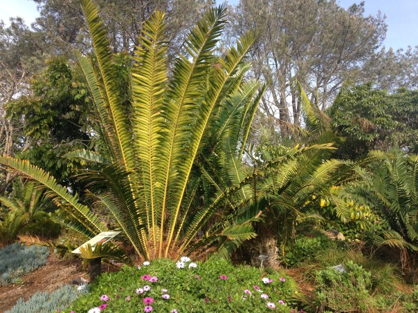 Cycad plant sample