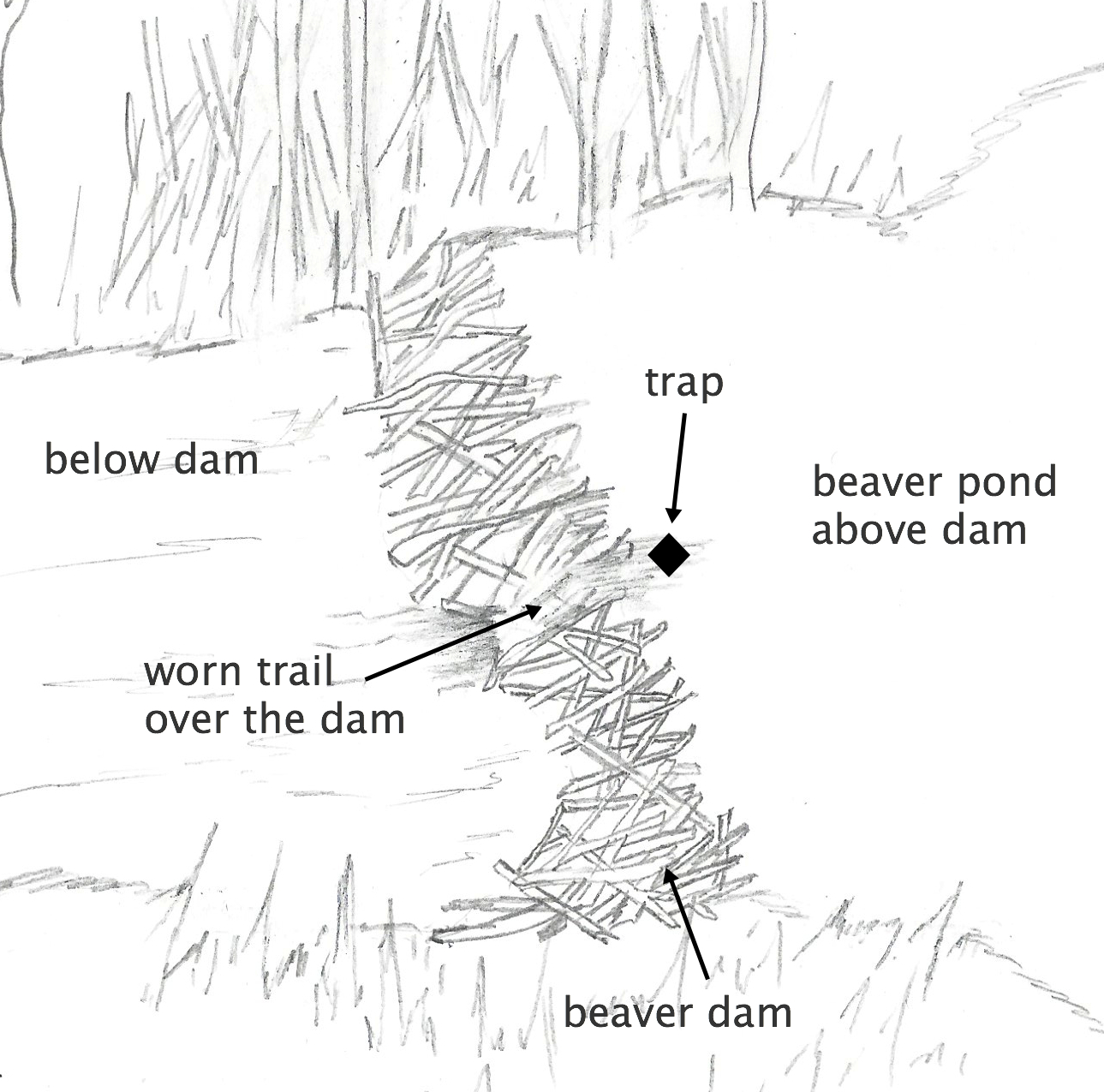 Beaver Trapping Techniques