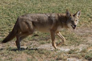 By Dawn Beattie from Morro Bay, CA, USA - Coyote, canus latransUploaded by snowmanradio, CC BY 2.0, https://commons.wikimedia.org/w/index.php?curid=29508717