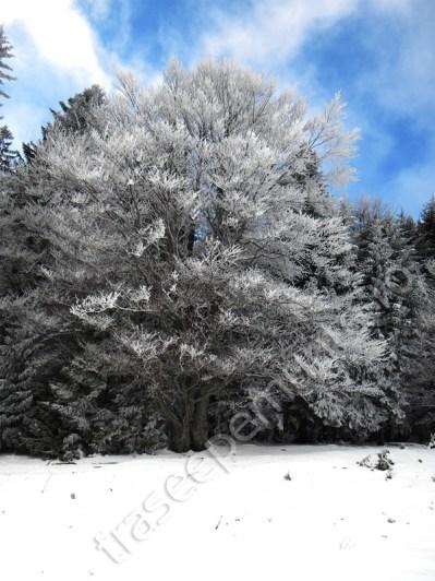 copac-acoperit-cu-zapada