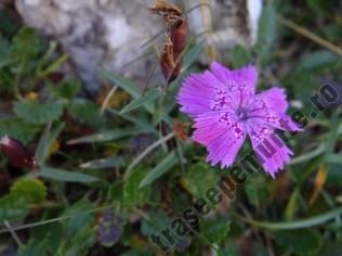 Garofita-Pietrei-Craiului