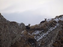 Capre negre in Bucegi