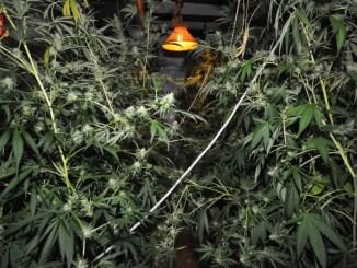 Città della Pieve, coltiva cannabis, polizia scopre 168 piante