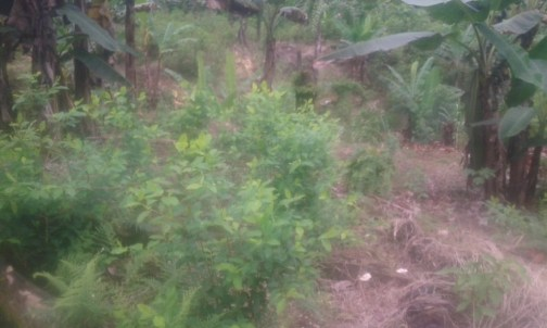 Algunos cultivos de cocaSegún las autoridades, cultivos ilícitos son mezclados con lícitos para ocultarlos. Foto cedida por raspachin