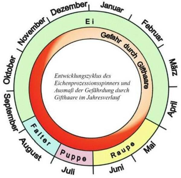 Lebenszyklus Eichenprozessionsspinner