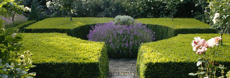 Buchsbaum Lavendel
