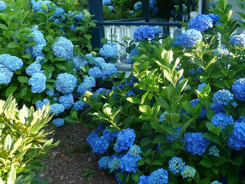hortensien galabau m hler traumgarten hydrangea. Black Bedroom Furniture Sets. Home Design Ideas