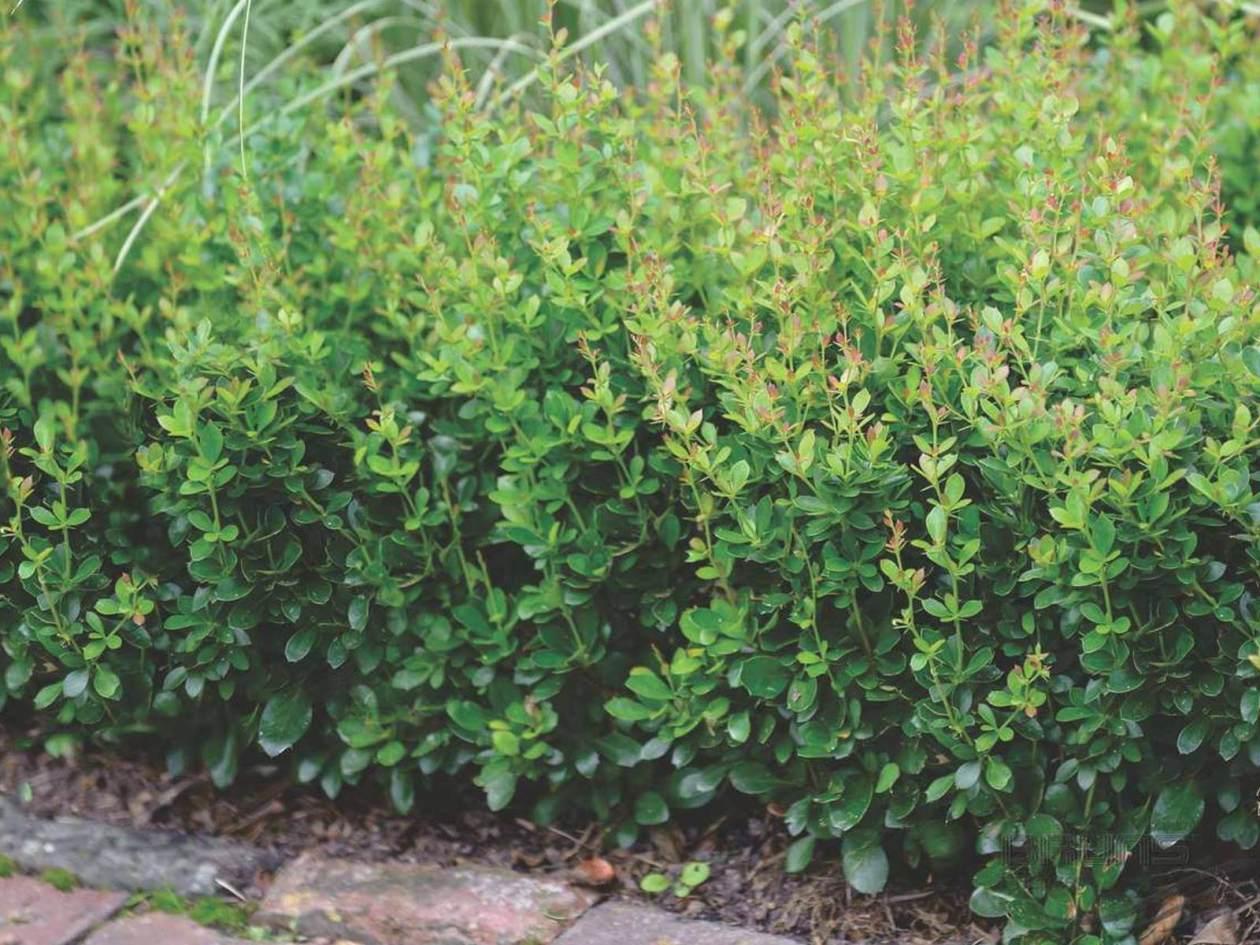 Berberis buxifolia Nana als Ersatz für Buchsbaum