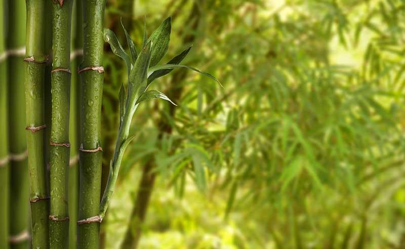 prix et plantation d une haie de bambous