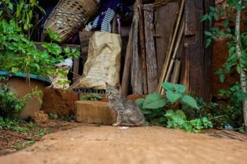 Village cat
