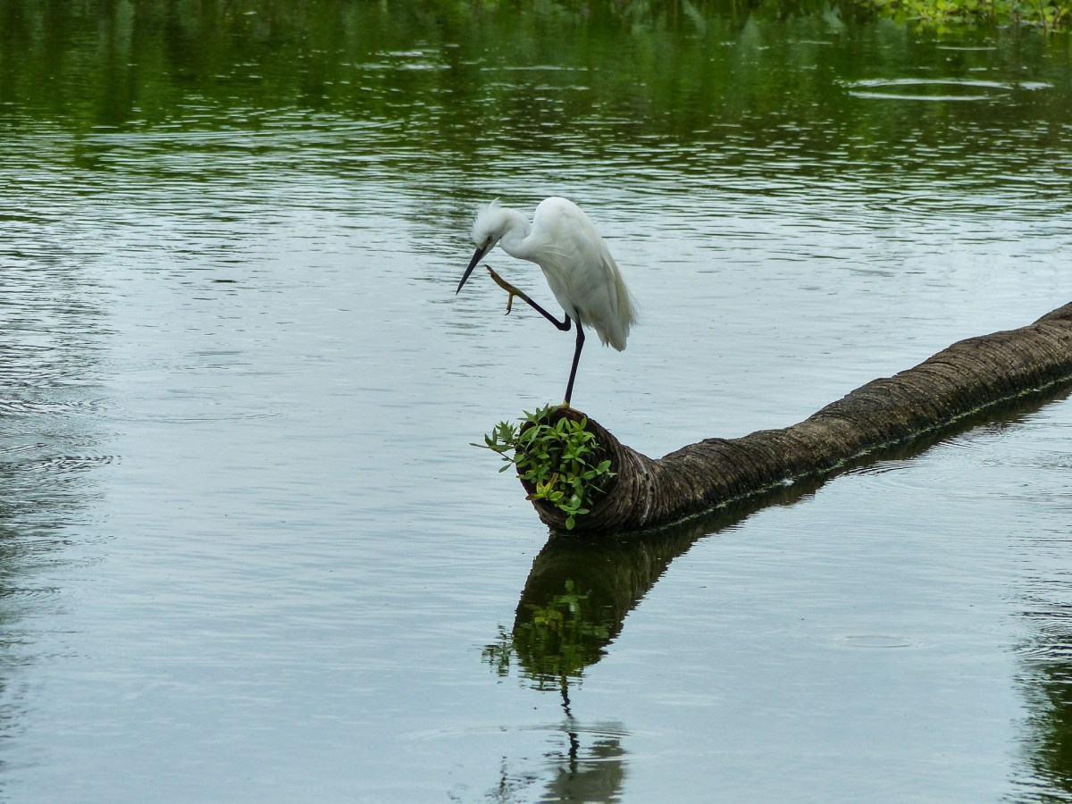 Nice bird at a lake in the gardens of Ayutthaya's temples