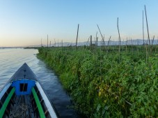 Tomatoes growing in floating gardens on Inle Lake