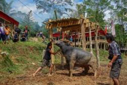 Tana Toraja Funeral Ceremony - water buffalo sacrifice Christian Jansen & Maria Düerkop
