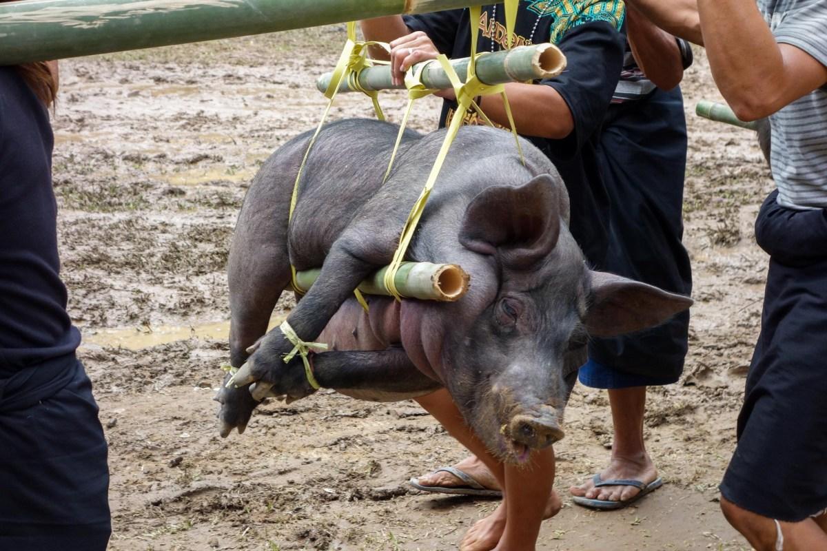 Tana Toraja Funeral Ceremony - transporting a pig to the kitchen Christian Jansen & Maria Düerkop