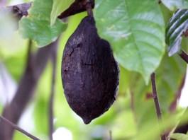 Tana Toraja - cocoa bean Christian Jansen & Maria Düerkop