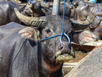 Tana Toraja - buffalo with nose chain at animal market in Rantepao Christian Jansen & Maria Düerkop
