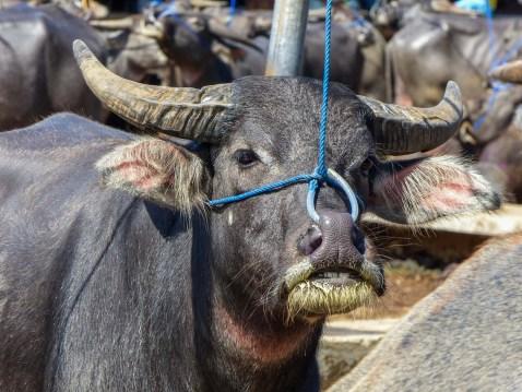 Tana Toraja - buffalo with nose chain at animal market in Rantepao Christian Jansen & Maria Düerkop