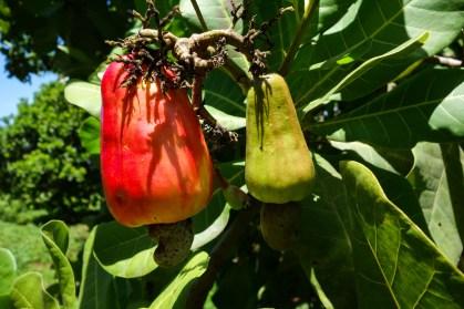 Sumba - cashew fruit Christian Jansen & Maria Düerkop