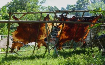 Sumba - drying buffalo skin in the shining sun Christian Jansen & Maria Düerkop