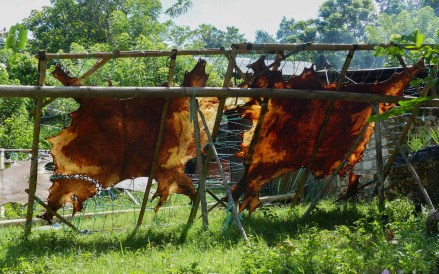 Sumba - drying buffalo skin in the shining sun Christian Jansen & Maria Düerkop