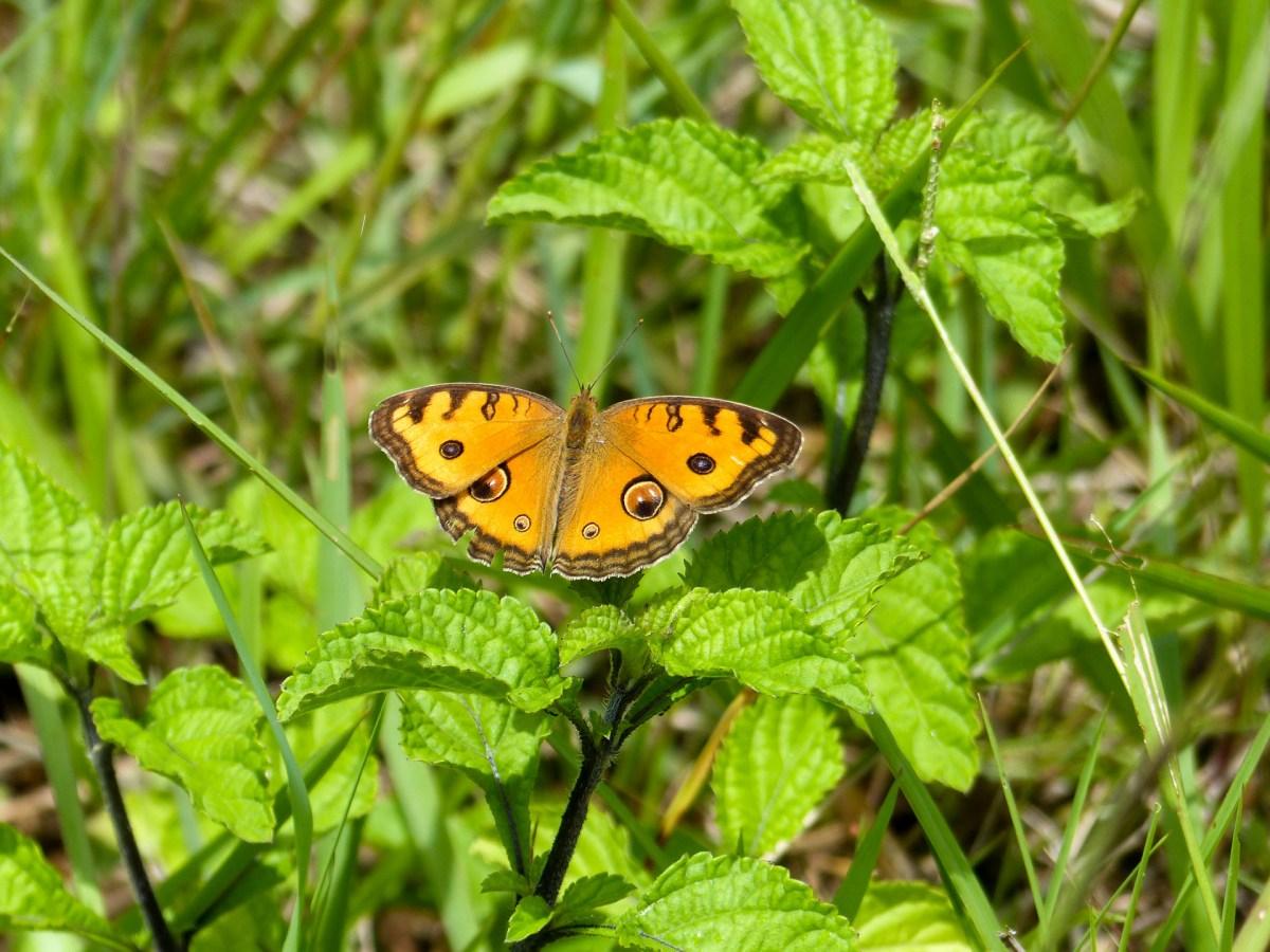Tana Toraja - yellow butterfly in the greens Christian Jansen & Maria Düerkop