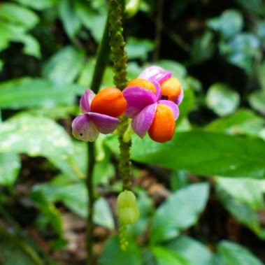 Mulu National Park - colorful blossom Christian Jansen & Maria Düerkop