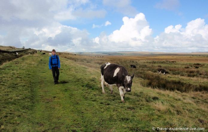 Walking among cows on the Hadrian's Wall Path, England