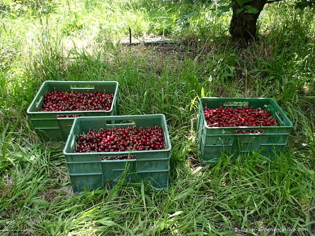 Cherry bins in Shepparton, Australia.