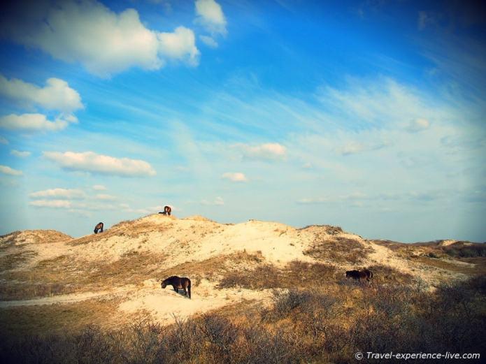 Horses in dunes in the Netherlands.