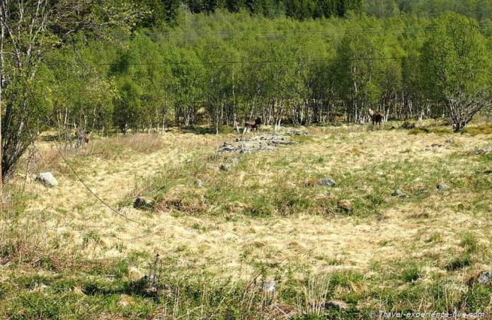 Moose in Norway.