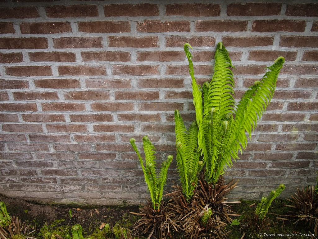 Ferns, spring in Belgium