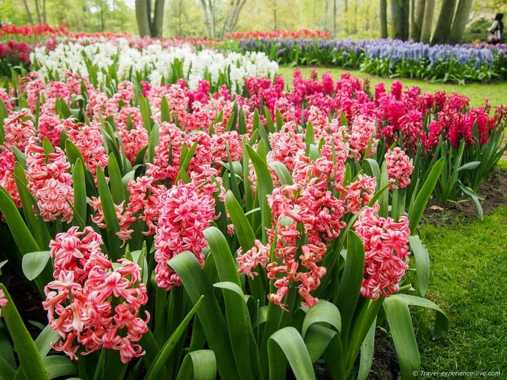 Hyacinths in the Netherlands.